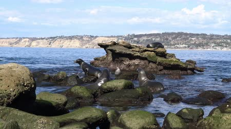 чайка : Seal rookery on the waterfront of San Diego. California. Стоковые видеозаписи