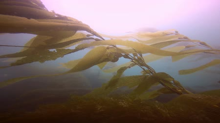 chaluha : A mysterious dip in the underwater gardens of kelp. Of the Pacific ocean. California. Dostupné videozáznamy