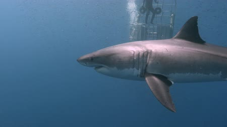 акула : Fascinating underwater diving with Great white sharks off the island of Guadalupe in the Pacific ocean. Mexico. Стоковые видеозаписи