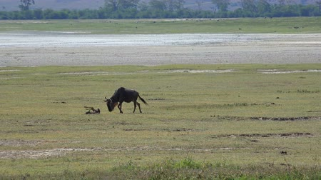 born calf : Wildebeest near a newly born calf. Safari - journey through the African Savannah. Tanzania.