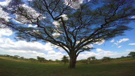 akacja : Umbrella acacia. Safari - journey through the African Savannah. Tanzania. Wideo