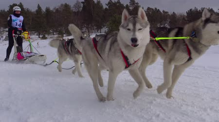 tazı : The sled dog race. The Caucasian mountains. Russia. Stok Video