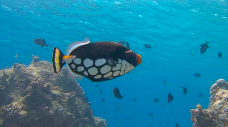 trigger : Clown triggerfish. l fish. Diving on the reefs near the Maldives.