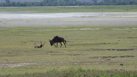 born calf : Wildebeest near a newly born calf in the Ngorongoro crater - journey through the African Savannah. Tanzania.