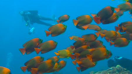inferior : Gorgeous underwater dive off Socorro island. Clarion fish. Diving in the Pacific ocean near Mexico.
