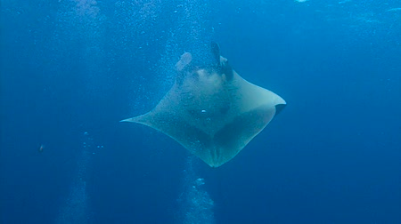 inferior : Gorgeous underwater dive with large manta rays off Socorro island. Diving in the Pacific ocean near Mexico.