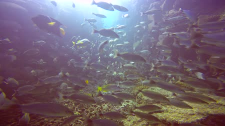 mergulhador : Fascinating scuba diving in the sea of cortez. Mexico.
