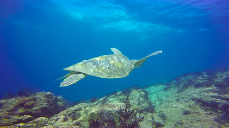 Sea turtle. Fascinating scuba diving in the sea of cortez. Mexico.