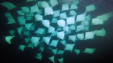 stingray : Exciting night diving under water in the sea of Cortez. Mexico.