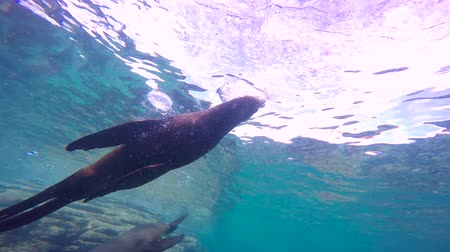 fejest ugrik : Fascinating underwater diving with sea lions in the sea of Cortez. Mexico.