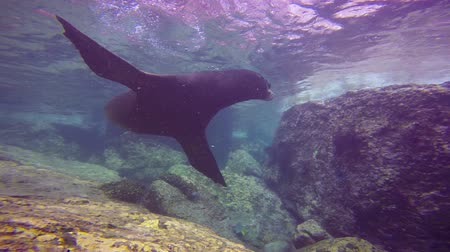 dips : Fascinating underwater diving with sea lions in the sea of Cortez. Mexico.