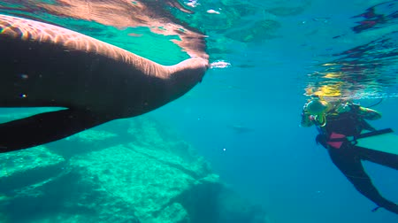 korál : Fascinating underwater diving with sea lions in the sea of Cortez. Mexico.