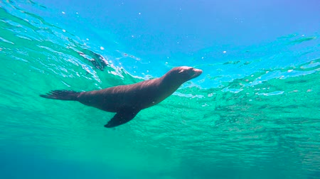 pesce leone : Fascinating underwater diving with sea lions in the sea of Cortez. Mexico.