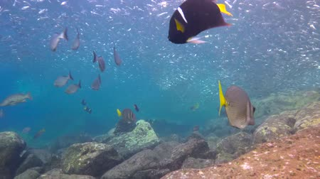 derinlik : Fascinating scuba diving in the sea of cortez. Mexico.
