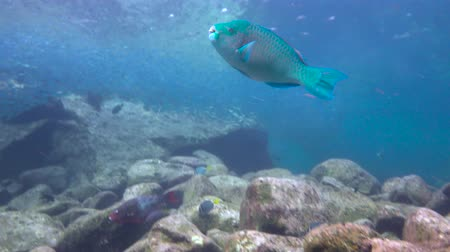 fejest ugrik : Parrotfish. Fascinating underwater diving in the sea of Cortez. Mexico.