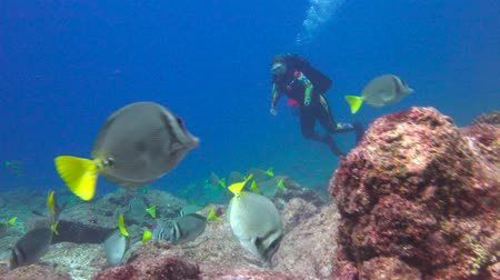 dips : Surgeonfish.Fascinating underwater diving in the sea of Cortez. Mexico.