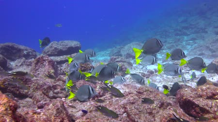 Surgeonfish.Fascinating underwater diving in the sea of Cortez. Mexico.