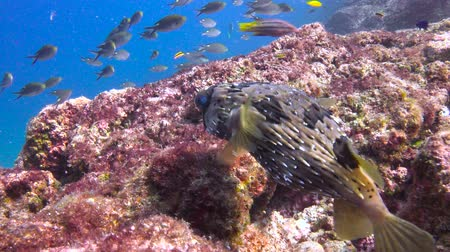 pufferfish : Pufferfish. Fascinating underwater diving in the sea of Cortez. Mexico. Stock Footage