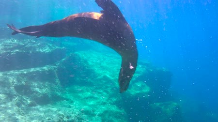 Fascinating underwater diving with sea lions in the sea of Cortez. Mexico.