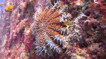 dips : Sea star. Fascinating underwater diving in the sea of Cortez. Mexico. Stock Footage