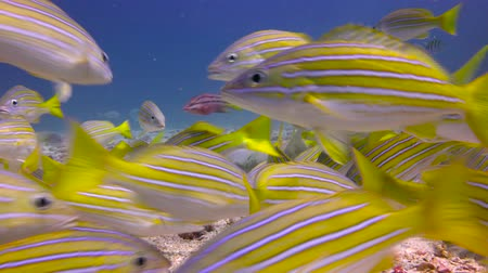 dips : Lutianus campechanus. Fascinating underwater diving in the sea of Cortez. Mexico.