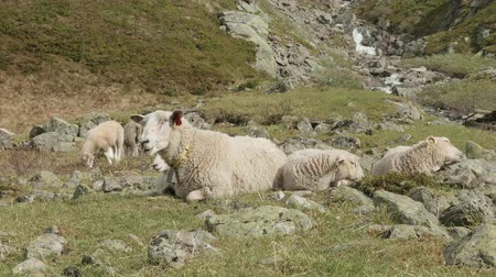 ouvido : Sheeps in the mountains of Norway