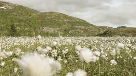 bavlna : Field of cotton in the mountain. Norway
