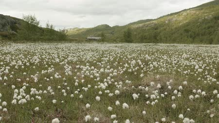 bavlna : Cotton field in mountains. Norway
