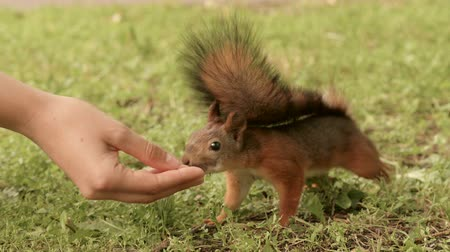 drápy : Squirrel eats from the hand Dostupné videozáznamy