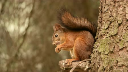 drápy : Squirrel eats nuts on the tree