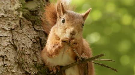 drápy : Squirrel eats on the branch