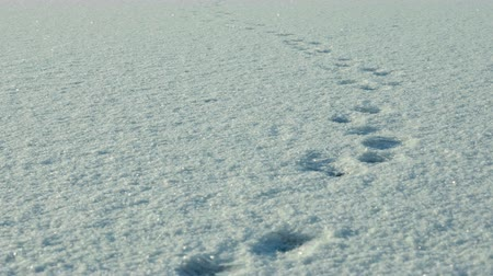 волк : Footprints on the snow. Clean and frosty daytime. Smooth dolly shot