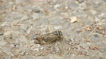 periódico : Cicada insect on the ground