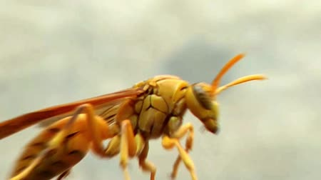 deep eyes : Deep colored Yellow Indian Yellow Paper Wasp, Polistes olivaceus or umbrella wasps walking on iron. India. 2019.