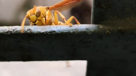 chapadlo : Deep colored Yellow Indian Yellow Paper Wasp, Polistes olivaceus or umbrella wasps walking on iron. India. 2019.