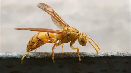 щупальце : Deep colored Yellow Indian Yellow Paper Wasp, Polistes olivaceus or umbrella wasps walking on iron. India. 2019.