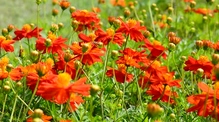 botanik : The orange flowers in nature, bees are flying and the wind blowing gently. Stok Video