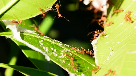 The red ant is reconnaissance on mango leaves. Dostupné videozáznamy