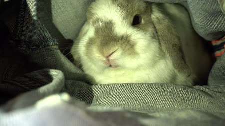 Rabbit walks into the jeans, its play.