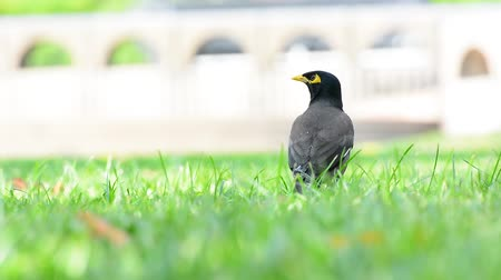 Myna standing on the lawn are find food to eat in the park. Dostupné videozáznamy