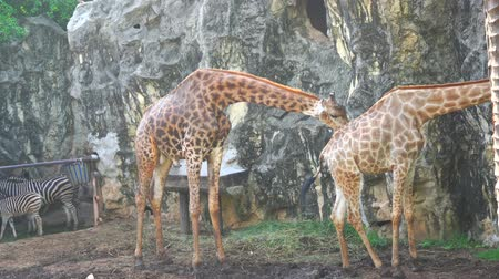 The male giraffe was cleaning a female giraffe. Dostupné videozáznamy