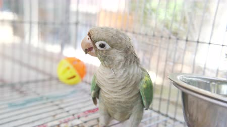 Green-cheeked parakeet or green-cheeked conure are eating sunflower seeds in a cage. Dostupné videozáznamy