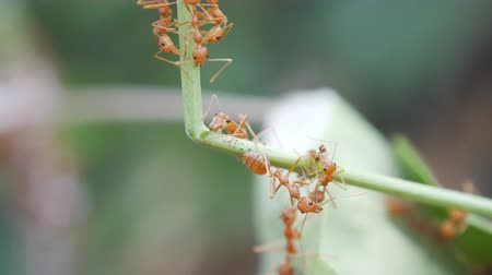 The red ants walking on the branches.