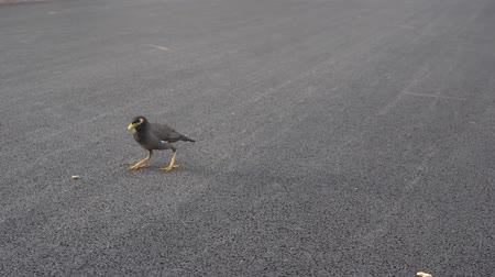 Myna bird are find food on the ground floor in the park. Dostupné videozáznamy