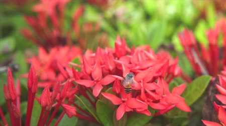 polinização : Bees are flying and eating pollen from ixora on a nature background.