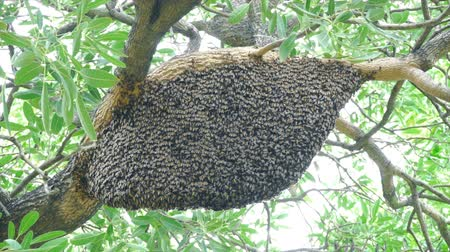 calabrone : Large nest of bee giant hornet on the tree.