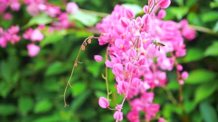 Antigonon leptopus hook in nature, bees are flying and the wind blowing gently. 4K slow motion. Dostupné videozáznamy
