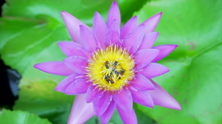 улей : Bee eating pollen from lotus on a nature background.