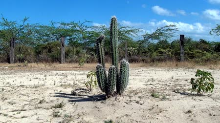dunas : Cactus Archivo de Video