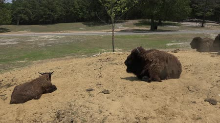 kürk : Bison, Water Buffalo, Wild Animals, Zoo Animals Stok Video